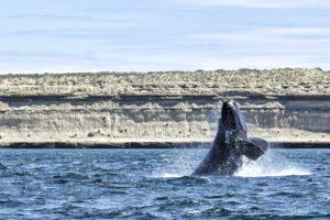Cucciolo di balena Franca Austral