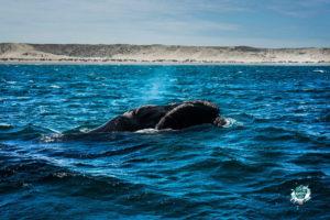 Balena Franca Austral