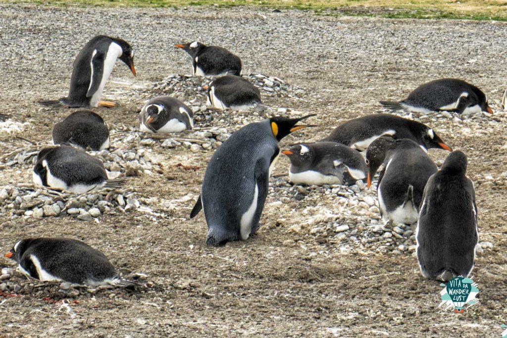 Pinguino-Reale e Papua